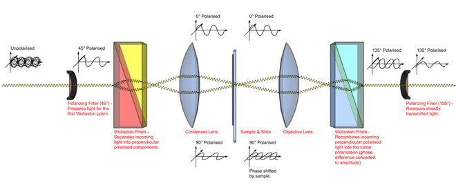 Methods and concepts in the life sciencesmicroscopy wikibooks diagram illustrating the path of light through a differential interference contrast microscope ccuart Image collections