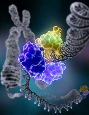 DNA repair - DNA ligase, shown above repairing chromosomal damage, is an enzyme that joins broken nucleotides together by catalyzing the formation of an internucleotide ester bond between the phosphate backbone and the deoxyribose nucleotides.