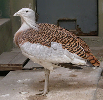Great bustard - Captive specimen of a male great bustard, showing the characteristic long, beard-like feathers and heavy build.