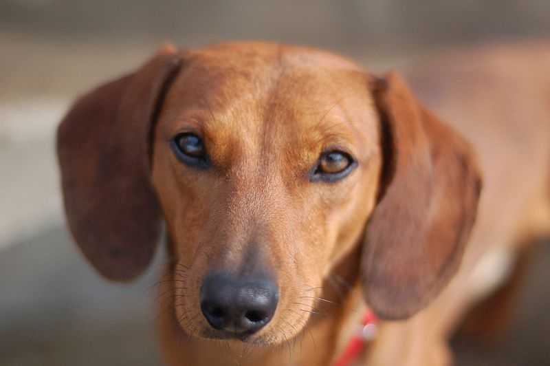 Dachshund dog breed