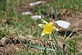 Daffodil at the Colomby de Gex - panoramio (2).jpg