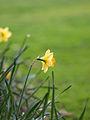 Daffodil in Gray's Inn (6994996343).jpg