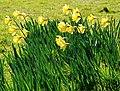 Daffodils, Jordanstown - geograph.org.uk - 722922.jpg
