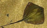Dasyatis pastinaca01