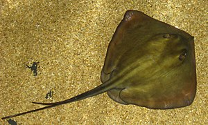 Stingray - Common stingray (''Dasyatis pastinaca'')