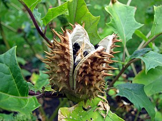 Datura stramonium - Seedpod, opening up to release seeds inside
