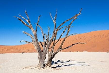 A dead tree in Dead Vlei, Sossusvlei, Namibia