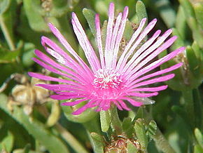 Description de l'image Delosperma cooperi1.jpg.