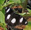 Denaid Eggfly (Hypolimnas misippus) in Hyderabad, AP W IMG 0595.jpg