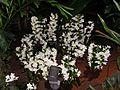 Dendrobium20140104 022.jpg