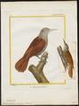 Dendrocolaptes picus - 1700-1880 - Print - Iconographia Zoologica - Special Collections University of Amsterdam - UBA01 IZ19200231.tif