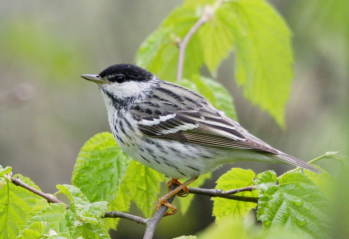 Blackpoll warbler wikipedia for Oiseaux de nos jardins