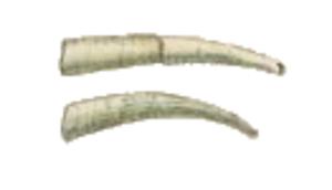 Dentaliidae - Shells of Antalis entalis (top) and Antalis vulgaris (bottom)