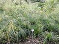 Deschampsia cespitosa - Palmengarten Frankfurt - DSC01999.JPG