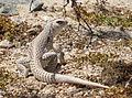 Desert Iguana (Dipsosaurus dorsalis); Cholla Cactus Garden.jpg