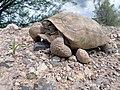Desert Tortoise SAM 0031 (16922228336).jpg