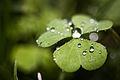 Dew (2850056912).jpg