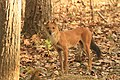 Dhole or Wild dog (69).jpg