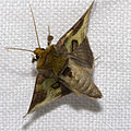 Diachrysia.stenochrysis.7483.jpg