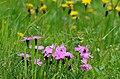Dianthus alpinus 011.jpg