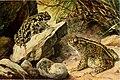 Die Reptilien und Amphibien mitteleuropas (1912) (20755728139).jpg