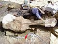 Dinosaur mayse shoulder blade.jpg