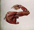 Dissection showing the muscles of the arm and shoulder, Wellcome V0008980.jpg