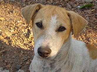 Indian pariah dog - Indian pariah dog photographed in Howrah, India (2004)