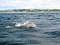 Dolphins in the Firth of Tay - geograph.org.uk - 535458.jpg