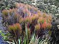 Dracophyllum longifolium 11.JPG