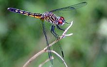 Dragonfly běžel-177.jpg
