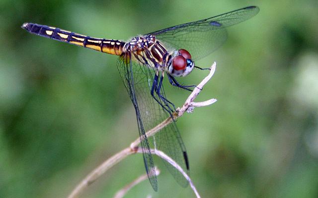 [Image: 640px-Dragonfly_ran-177.jpg]