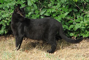 Landrace - A black Domestic shorthair. The Domestic shorthair is one of a number of landraces of the domestic cat.