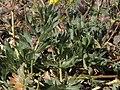 Drummond cinquefoil, Potentilla drummondii, foliage (24847931762).jpg