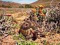 Dry season is over! nom nom nom om nom! (Goegap Nature Reserve, Namakwaland, South Africa) (14987528074).jpg