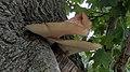 Dryad's Saddle (Polyporus squamosus) - Guelph, Ontario.jpg