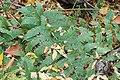 Dryopteris goldiana SCA-3237.jpg