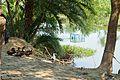 Ducks - Purba Para - Stream Ichamati - Baduria - North 24 Parganas 2015-04-11 7208.JPG