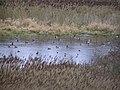 Ducks at Lough Skitter, Omagh - geograph.org.uk - 632521.jpg