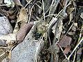 Dung Beetle (3976751898).jpg
