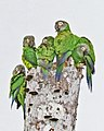 Dusky-headed Parakeet JCB.jpg