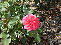 Dzika roza 2.JPG