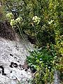 ERUCASTRUM NASTURTIIFOLIUM - MONTSEC - IB-925 (Ravenissa groga).jpg