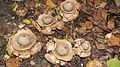 Earth Star Fungi (10624667886).jpg