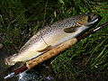 EastGallatinRiverBrownTrout.jpg