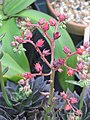 Echeveria Black Knight (22759600180).jpg