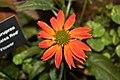 Echinacea purpurea 'Sombrero Salsa Red' IMG 2950.jpg
