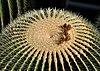 Echinocactus grusonii qtl1.jpg