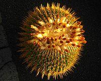 Echinocactus ingens2