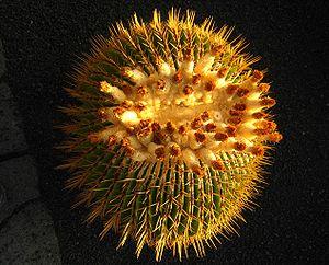 Echinocactus ingens2.jpg
